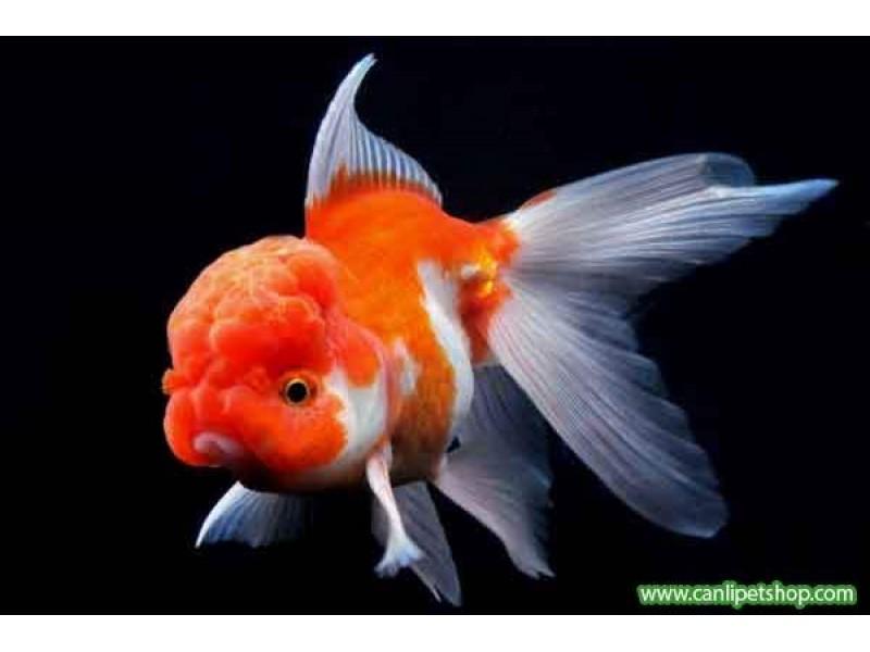 Japon Balığı Kırmızı-Beyaz Oranda 7-8 cm 1 Ad