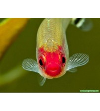 Tetra Kırmızı Burun 1 Ad (Sürü Balığı) 3-4 Cm