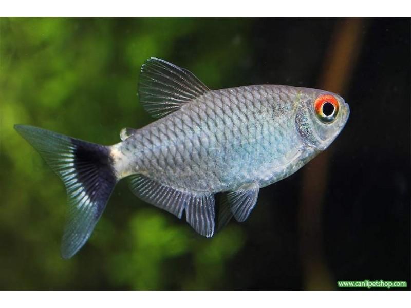 Tetra Kırmızı Göz ( Monkesia ) 1 Ad 3-4 Cm