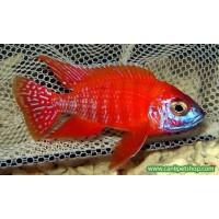 imparator Kırmızı (Red Rubin) Ciklet 1 Ad 7-8 Cm