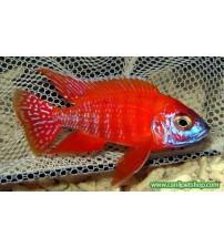 imparator Kırmızı (Red Rubin) Ciklet 1 Ad 5-6 Cm