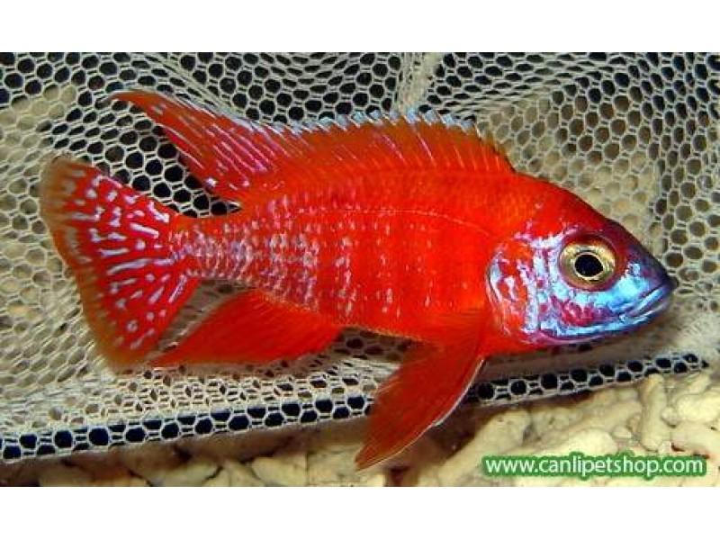 imparator Kırmızı (Red Rubin) Ciklet 1 Ad 3-4 Cm