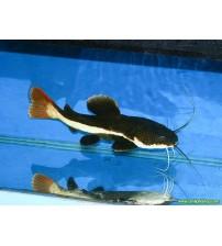 Kedi Balığı Kırmızı Kuyruk 1 Adet