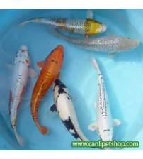 Koi Balığı  (Büyük) 4 Ad 12-13 Cm 1 ERKEK 3 DİŞİ YAVRU MAKİNASI TR DE TEK