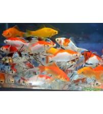 Koi Balığı (Küçük) 3 Ad 5-6 Cm