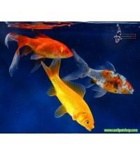 Koi Balığı orta 1 AD 8-10 cm
