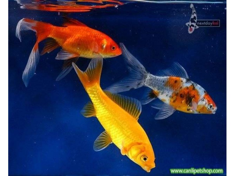Koi Balığı orta 10 AD 8-10 cm