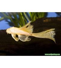 Vatoz Cüce Albino L144 Göz Kırmızı Tül Kuyruk 1 Ad 3-5 CM