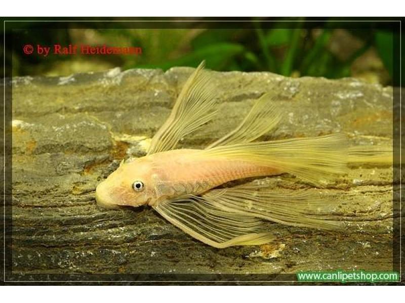 Vatoz Cüce Albino L144 Göz Mavi Tül Kuyruk 1 Ad 2.5-3 Cm