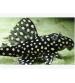 Vatoz Cüce L201 (Hypancistrus contradens) 3-4 Cm 3 Ad