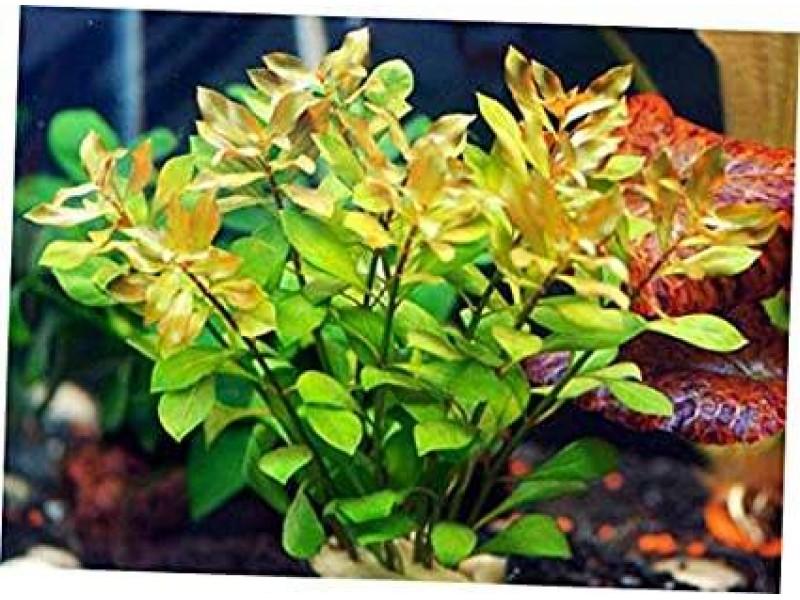 Gül Yeşil 5  kök