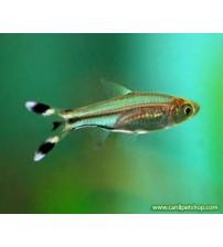Rasbora Makaskuyruk (Sürü Balığı) 1 Ad 3-4 Cm