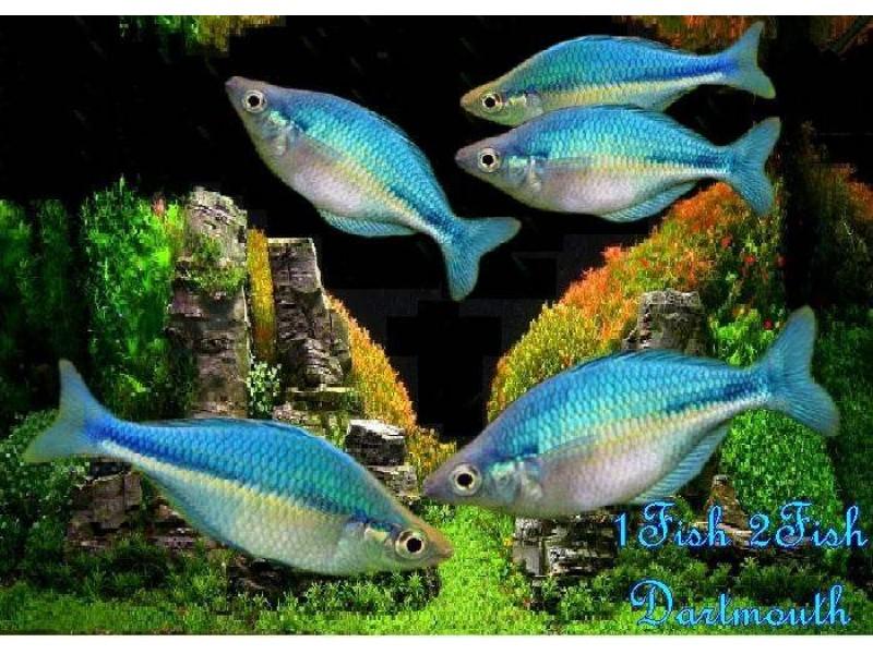 Gökkuşağı Mavi (Mavi Rainbowfish-İncisus) 1 Ad 5-7 Cm