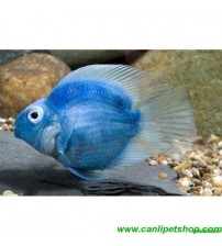 Papağan Ciklet Mavi Yetişkin 1 Adet 10-12 Cm