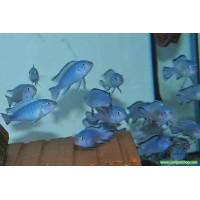 .Prenses Mavi Ciklet 100 Adet 1-2 Cm