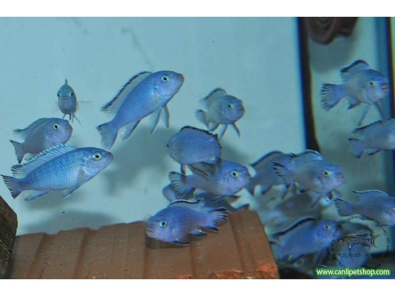 .Prenses Mavi Ciklet 10 Adet 1-2 Cm