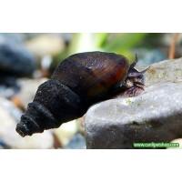 Melani Snail 15 Adet 1-2 Cm