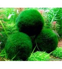 Yosun Topu (Moss Ball) 1 Ad