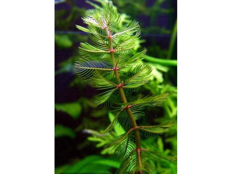 Myriophyllum spicatum 10 kök Tilki Kuyruğu