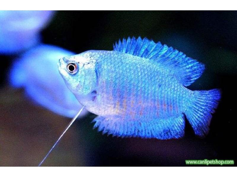 Gurami Kobalt Mavi 1 Adet 4-5 Cm