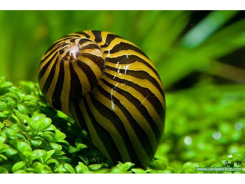 Nerite Salyangoz Zebra 1 Adet iri Boy