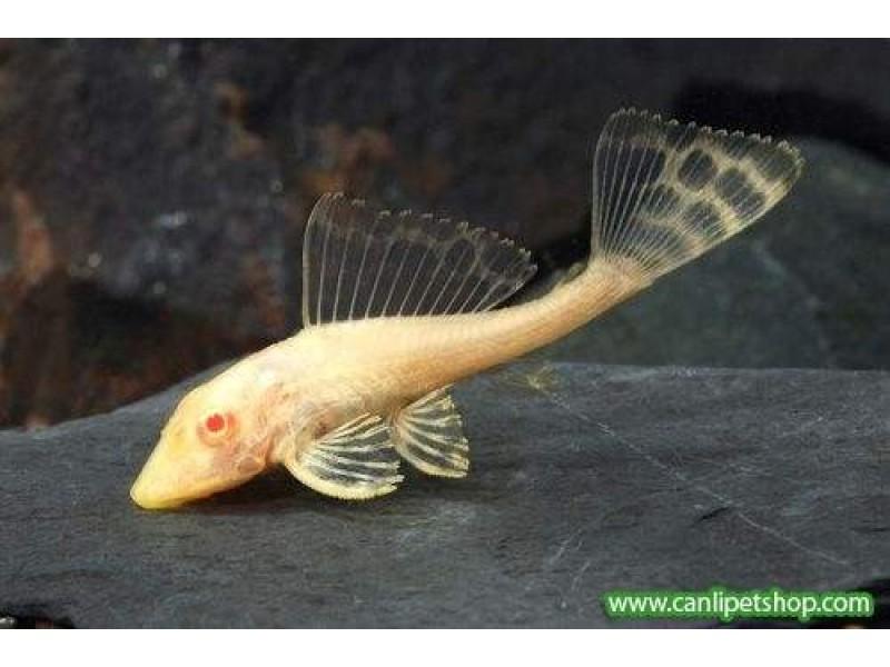 Vatoz Normal Albino  1 Ad 7-9 Cm