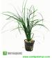 Ophiopogon japonicus Uzun 1 Saksı 10-12 Cm