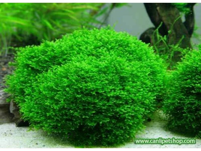 Moss Pelia Moss 1 tabaka 5x10 Cm2
