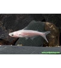Köpek Balığı Pengasus Beyaz 1 Adet 10-12 Cm