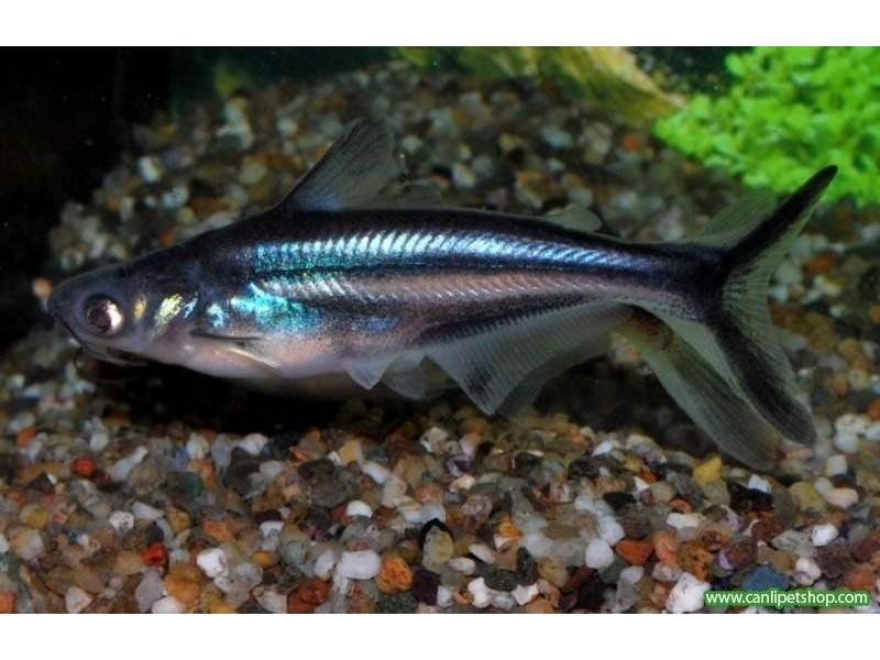 Köpek Balığı Pengasus 1 Adet  7-8 Cm
