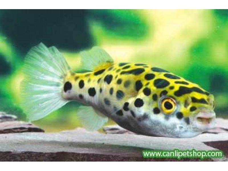 Tatlı Su Puffer (Şişen Balık) Adi Salyangoz Temizleyici 4-5 Cm