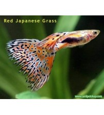 Lepistes Japanese Red Grass  1 Ad Erkek 2-3 Cm