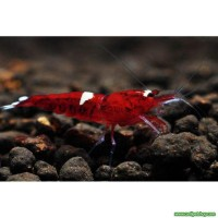 Taiwan Bee Red Ruby 1 Ad