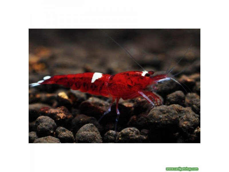 .Taiwan Bee Red Ruby 1 Ad